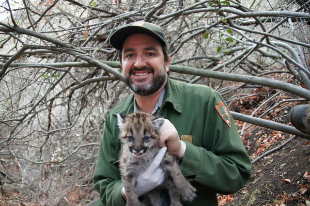Seth Riley with the mountain lion known as P-32, who recently made news by crossing the 101 freeway.