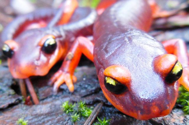 Researchers at the UCLA Institute of the Environment and Sustainability are calling for a federal ban on importing salamanders to prevent a pathogen from coming to the United States that could devastate salamander populations.