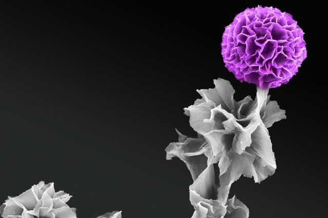 In full bloom: A scanning electron microscopy image produced by Jessica Wang of a vertical tetraanaline semiconductor crystal.