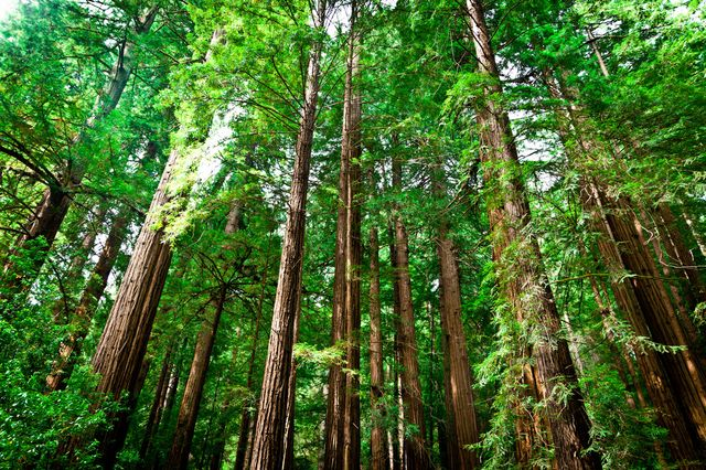California redwoods at Muir Woods Park in Marin County.