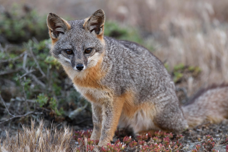 An island fox. Researchers say one community of the species has the least genetic variation in a sexually reproducing species.