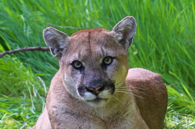 Creek-side woodlands are among the Los Angeles areas where mountain lions hunt for prey.